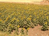 Sevillian Sunflowers Copyright Shelagh Donnelly