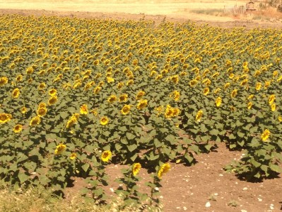 Sevillian Sunflowers Copyright Shelagh Donnelly