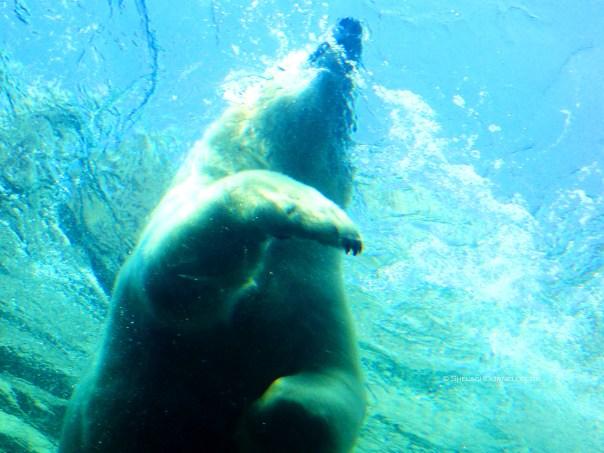 Polar Bear 8785 Copyright Shelagh Donnelly