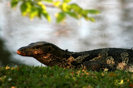 Lumpini Park Lizard 8672-2016 Copyright Shelagh Donnelly