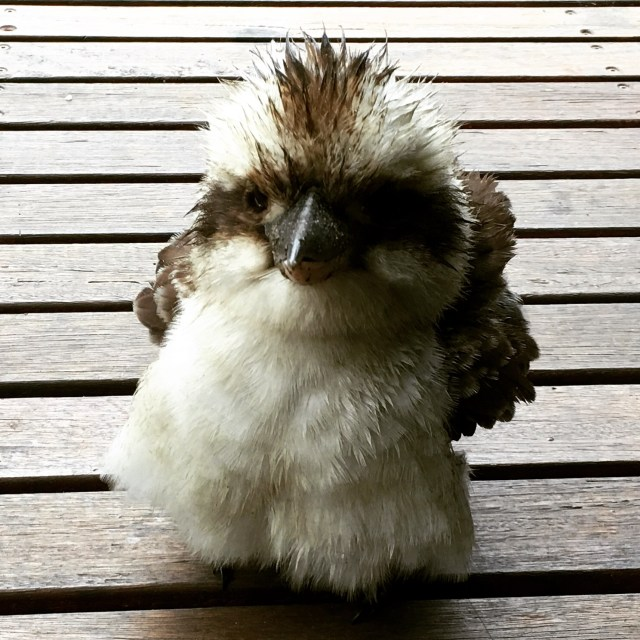 Baby Kookaburra - Mr Fluffypants