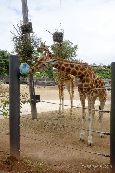 悉尼塔龍加動物園長頸鹿 Giraffe in Sydney Taronga Zoo