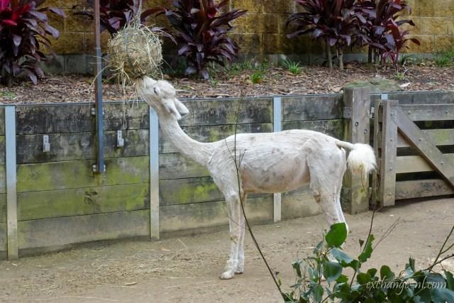 悉尼塔龍加動物園草泥馬 Alpaca in Sydney Taronga Zoo