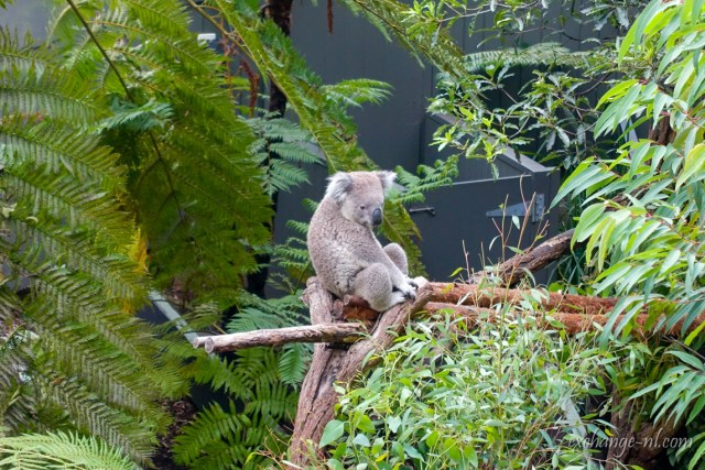 悉尼塔龍加動物園樹熊/無尾熊 Koala in Sydney Taronga Zoo