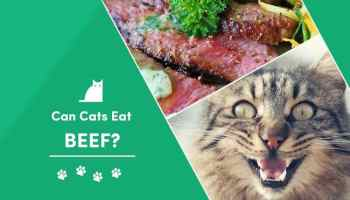 Can Cats Eat Turkey What You Need To Know Excitedcats
