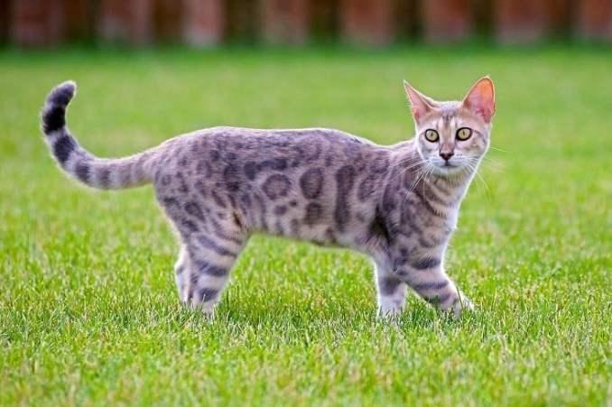 Blue Bengal Cat