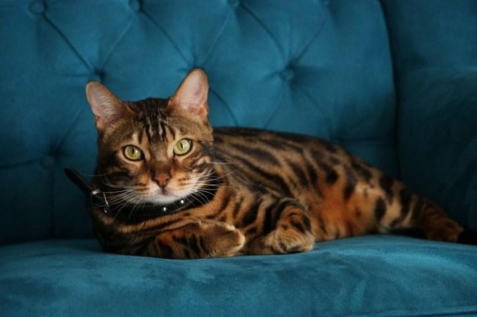 Bengal Cat Colors