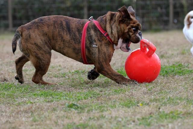 ボール遊びが大好きなブルドッグ