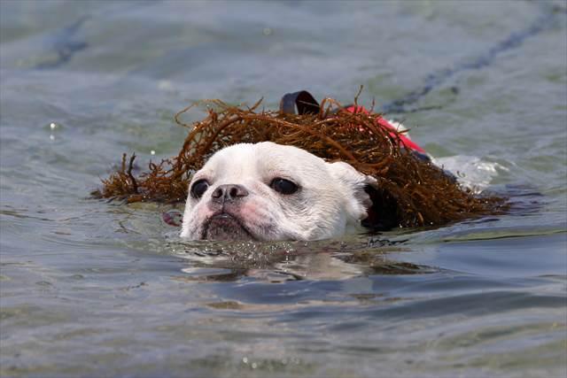 頭に海藻を乗せて泳ぐフレンチブルドッグ