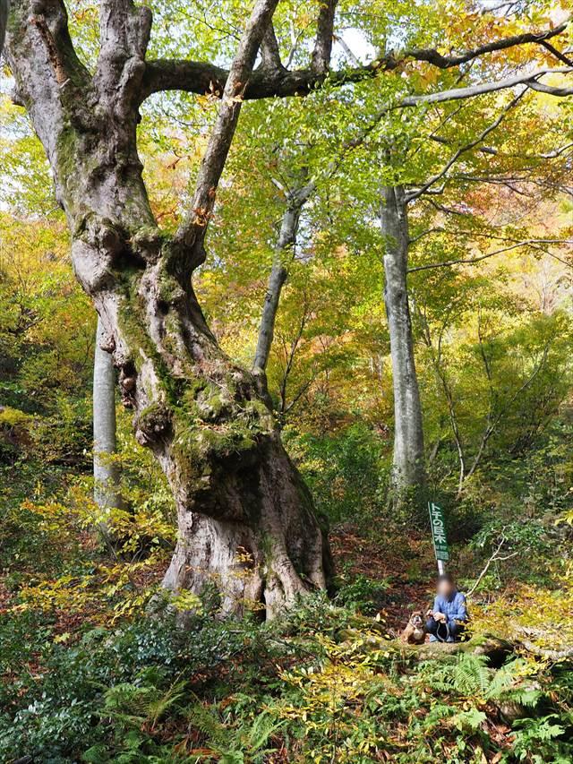 ハイキングコース【トチの巨木】