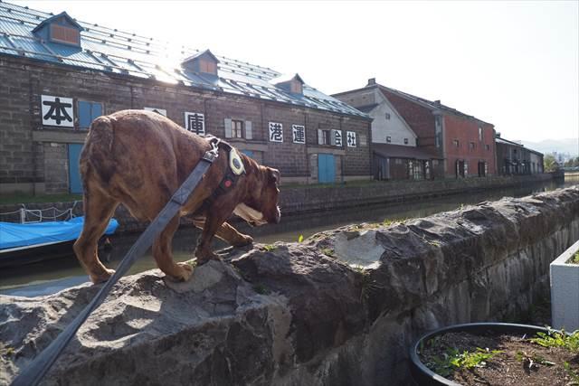 愛犬と一緒に小樽運河