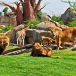 Bioparc Löwen