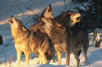 wolvenr