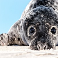 Seal Catcher