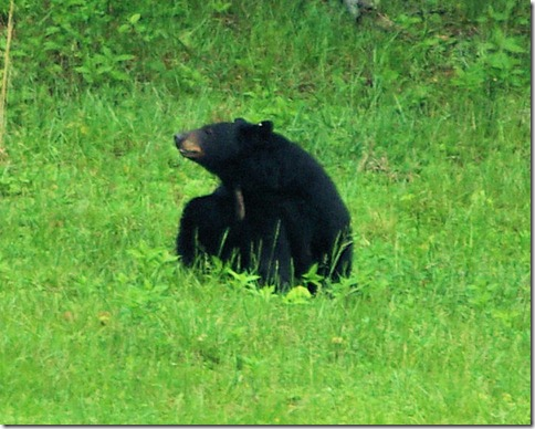 Black bear, Great Smoky Mountains National Park, May 5, 2009