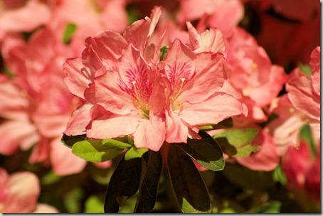 Garvan Woodland Gardens azalea