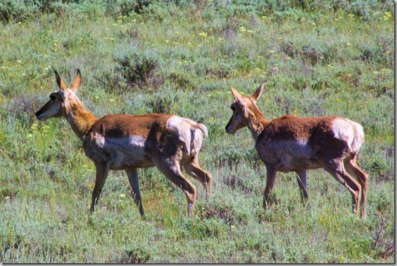 Pronghorn (aka Antelope)