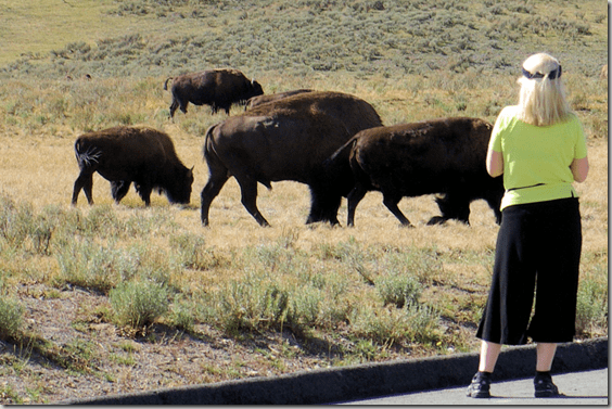 Way too close, buffalo, Yellowstone National Park