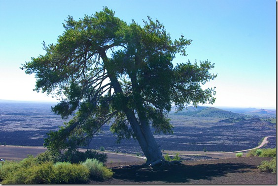 Lone pine at the top of a cinder cone in Craters of the Moon National Monument in Idaho