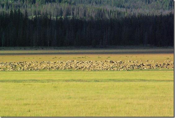 Sheep herd in Idaho mountains