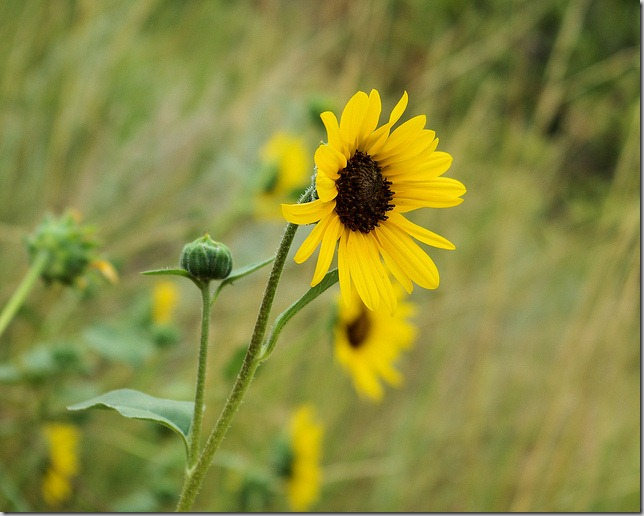 Sunflowers at The Vore Buffalo Jump archeological site
