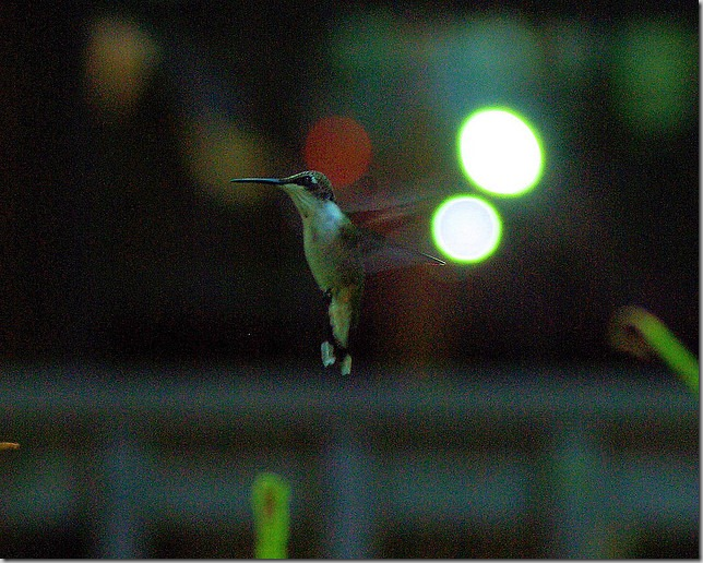 hummingbird, August 1, 2008