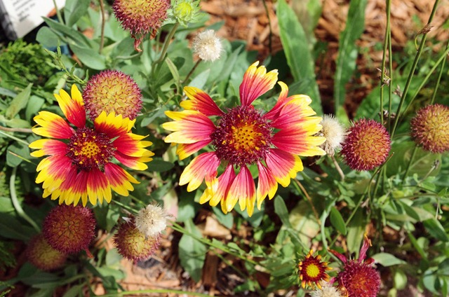 Blanket flower, Garden of the Gods, September 8, 2011