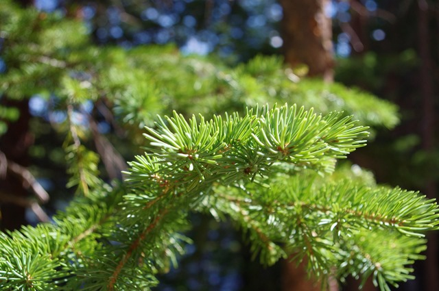 Evergreen needles and branches, Bear Lake, Rocky Mountains National Park September 12, 2011