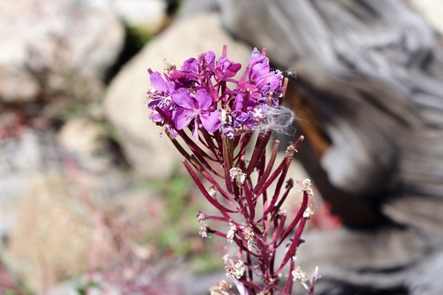 Fireweed along Fall River Road, Rocky Mountains National Park September 12, 2011_thumb[2]
