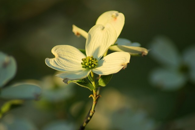 Dogwood in our yard, above the Arkansas River Valley, Arkansas, March 24, 2007