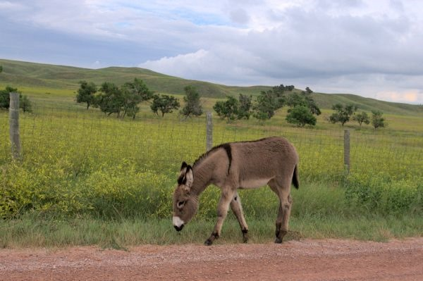Wild Burros of Custer State Park, South Dakota, August 2014