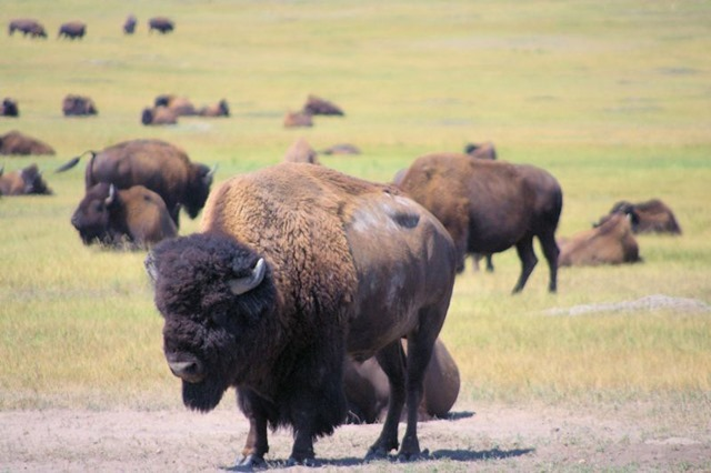 Buffalo (bison), Badlands National Park, South Dakota, August 11, 2014