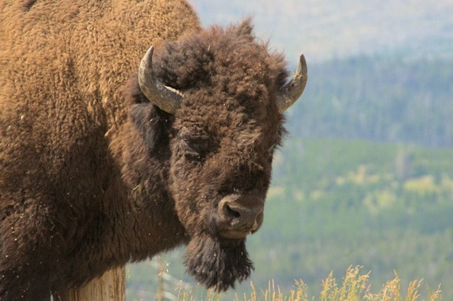 Bull buffalo (American bison), Chittenden Road viewpoint, Yellowstone National Park, Wyoming, August 18, 2014