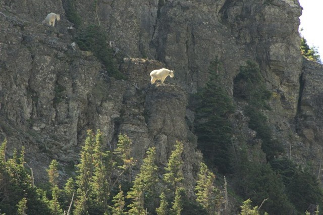 Mountain Goats, Hanging Gardens Trail to Hidden lake Overlook, Glacier National Park, Montana, August 27, 2014