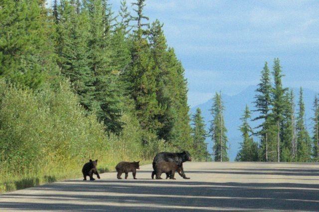 Black bears, Glacier National Park, Montana, August 28, 2014
