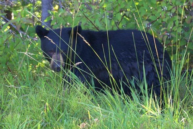 Black bear, Glacier National Park, Montana, August 28, 2014