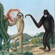 Baston – Primates