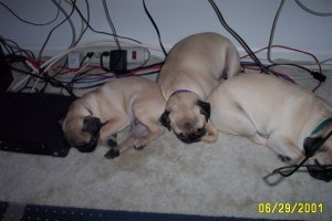 Pugsley, Wednesday and Lily (left to right)