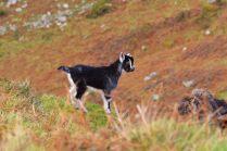 502 Caroline Blakey Goats