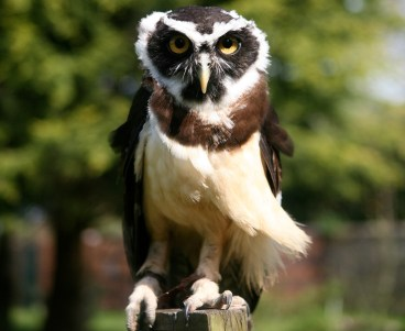 specacled owl