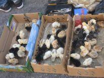 07. chickens
