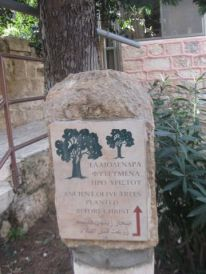 14. old olive trees planted before Christ