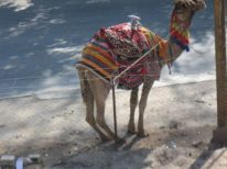 12. a camel in Jericho