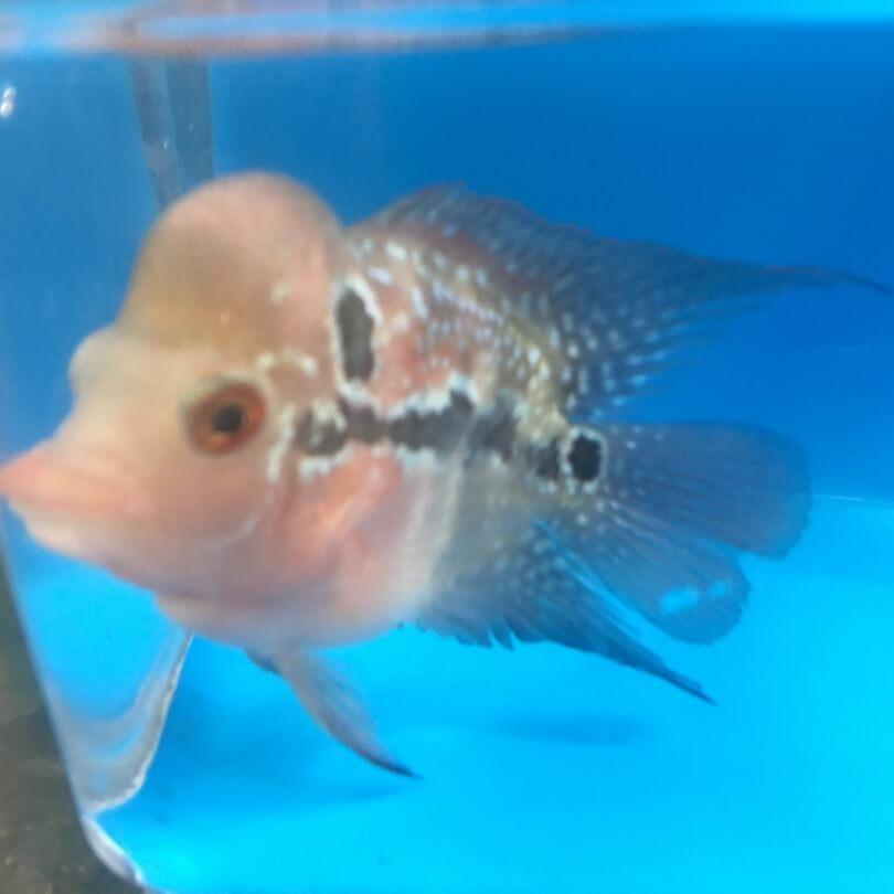 Bonsai Flowerhorn For Sale Exotic Fish Shop 774 400 4598