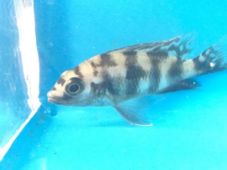 Haplochromis milomo cichlid for sale | Exotic Fish Shop