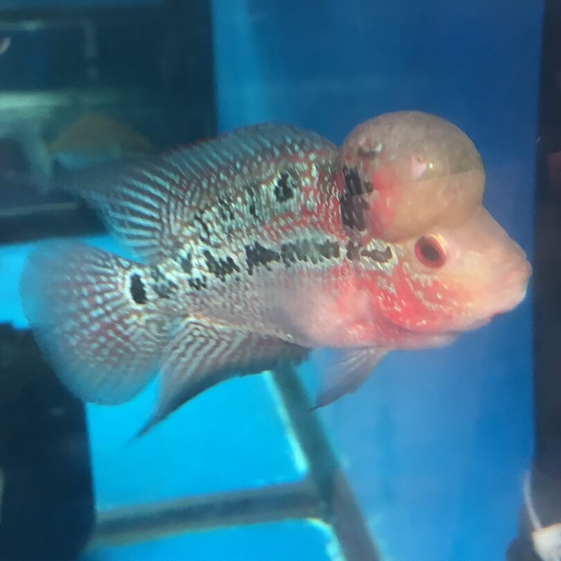 Competition grade flowerhorn red dragon for sale   Exotic Fish Shop    774-400-4598