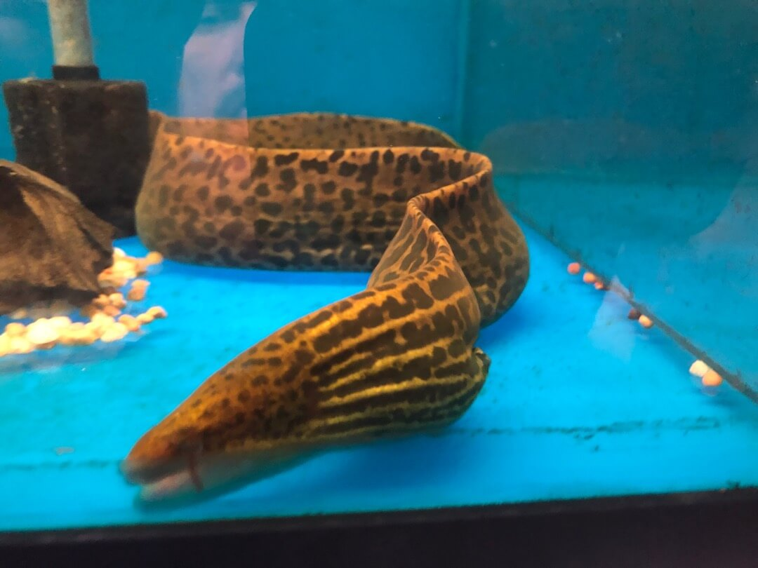 Tiger moray eel true freshwater for sale   Exotic Fish Shop   774-400-4598