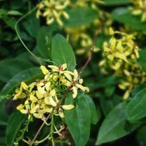 tristellateia australasiae exoticplantsouq.ae