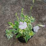 asystasia plant exoticplantsouq.ae