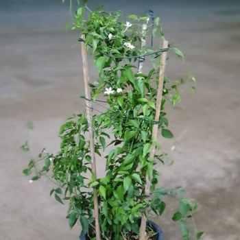 jasmine grandiflora exoticplantsouq.ae